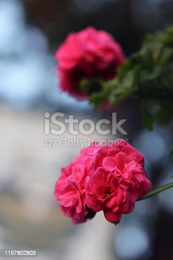 Beautiful bright pink flowers that ball shaped. In this photo you can also see some leaves and stems of the flower. The background is really soft and has lovely bokeh. Closeup up color photo.