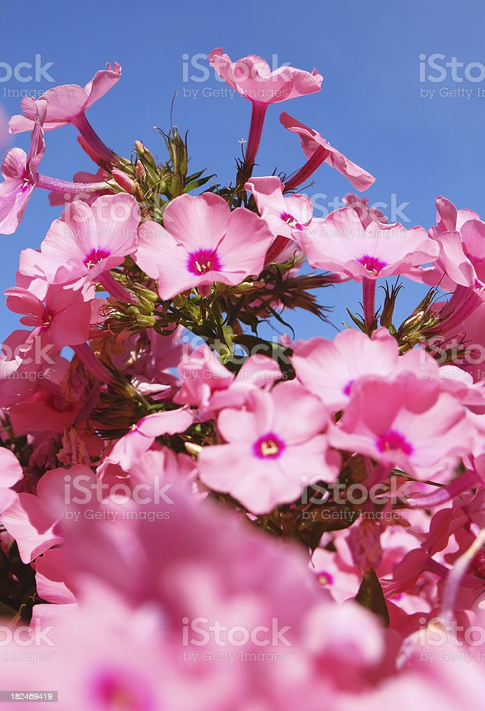 Bright pink flowers stock photo