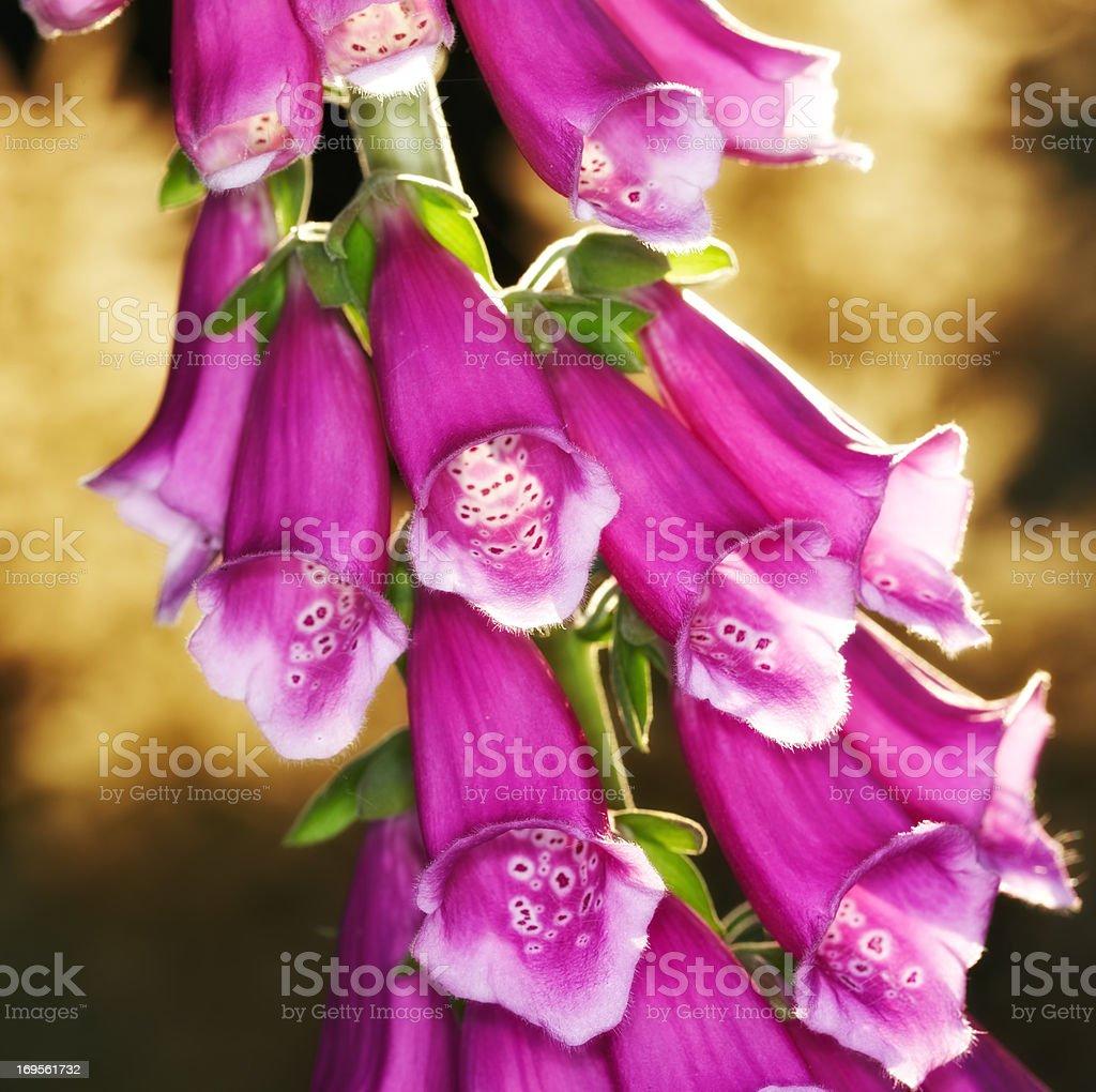 Bright pink foxgloves – Foto