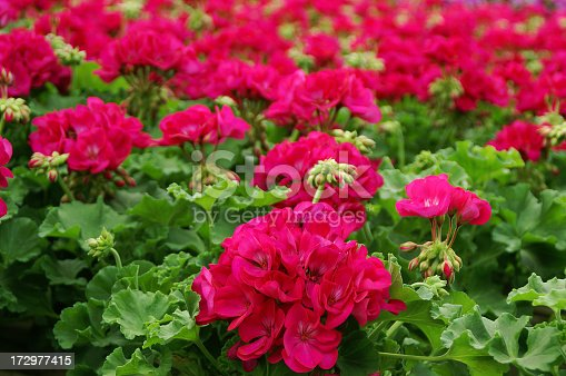 Large group of Bright Pink Geraniums in Green HouseClick Banner below to view similar images: