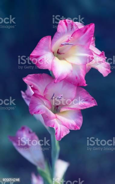 Bright pink gladiolus on a blue background selective soft focus picture id920014246?b=1&k=6&m=920014246&s=612x612&h=dmae252adnbiiteecsldynu9wqvmdd pbuqpfl4zqn4=
