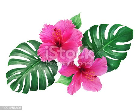 Hibiscus flowers with monstera leaves isolated on white background for graphic use