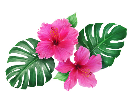 Bright pink hibiscus flowers with monstera leaves isolated on white background