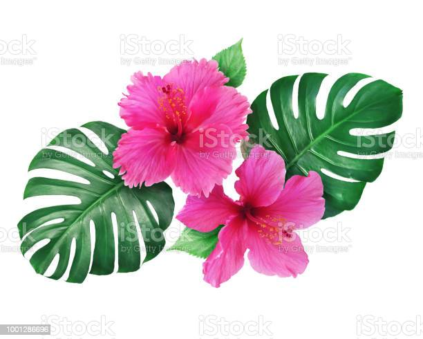 Bright pink hibiscus flowers with monstera leaves isolated on white picture id1001286696?b=1&k=6&m=1001286696&s=612x612&h=9qmdpem78tpa8n kkscv1n4szccq0adhhnmwgw t9ey=