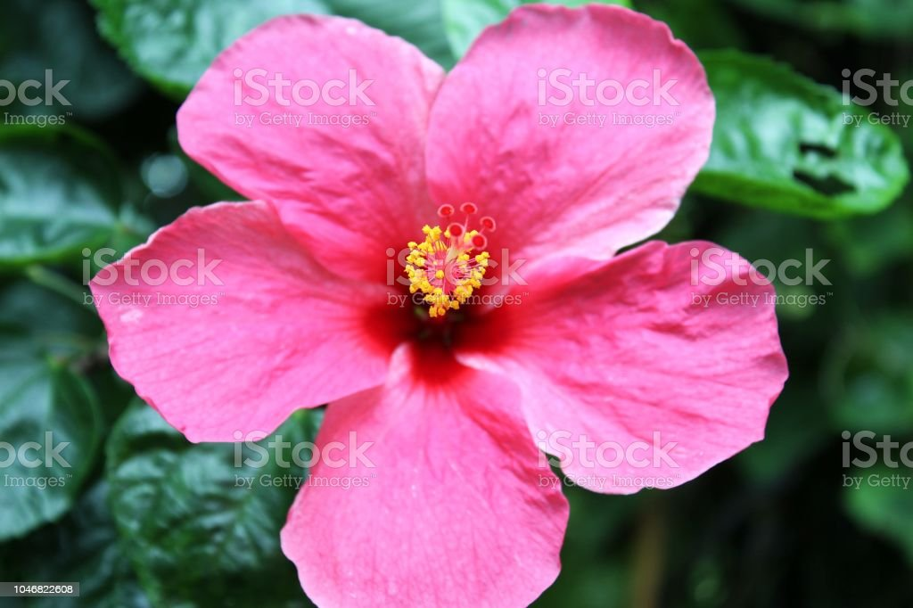 Bright Pink Large Flower Of Purple Hibiscus On Green Leaves Natural