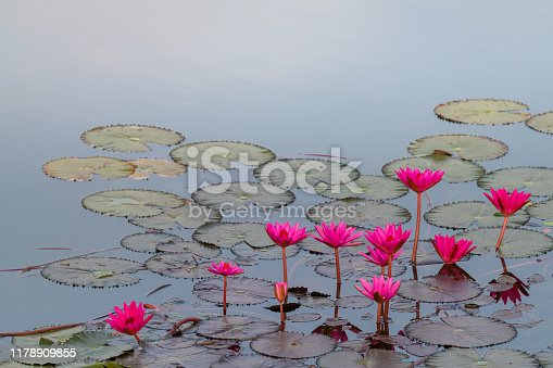 Bright pink lotus blooming in a pond