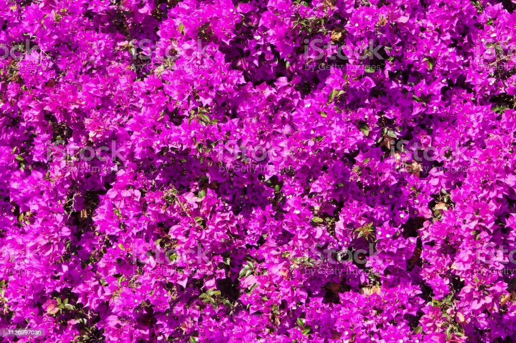 Hell rosa Magenta Bougainvillea Blumen als floraler Hintergrund. Bougainvillea Blumen Textur und Hintergrund. – Foto