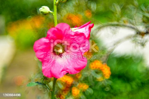 Bright pink mallow flowers on a green Bush with a beautiful bokeh