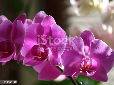 Close up of bright pink orchid flower pertals