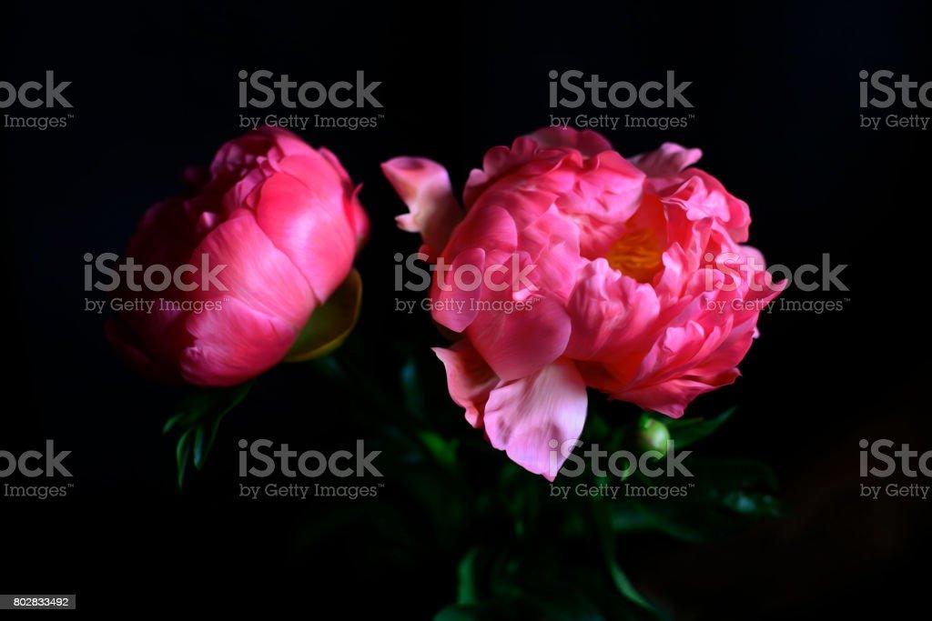 Bright Pink Peonies stock photo