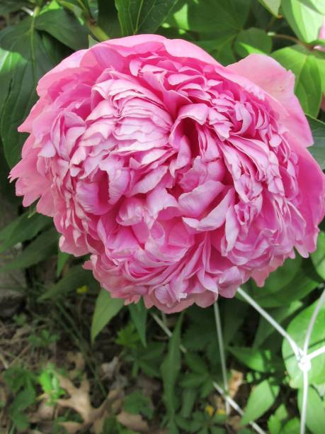 Bright Pink Peony Blossoming stock photo