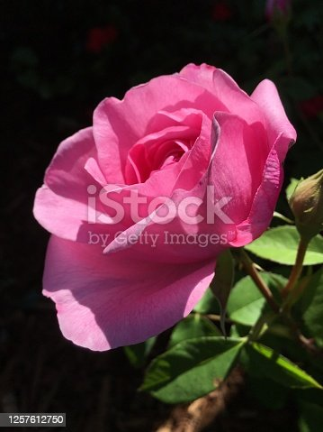 Bright pink rose blooms in bright sunlight