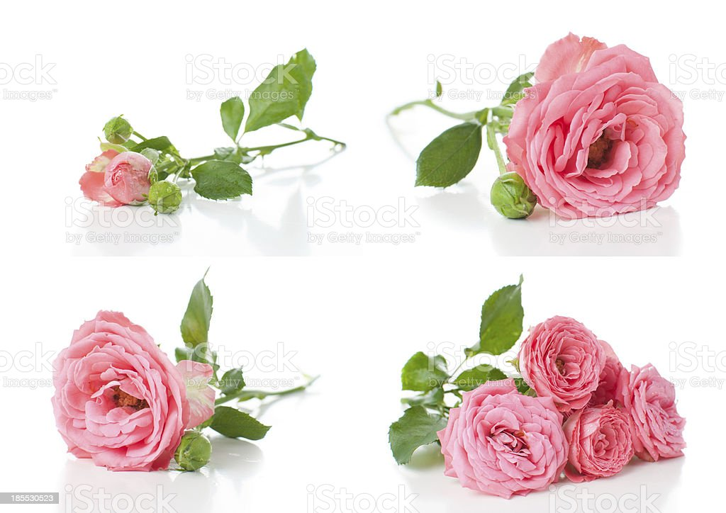 Bright pink roses, collage, isolated stock photo