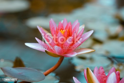 Bright pink water lily close up. Lotus on blue background. Delicate flower in the pond. Tropical floral natural wallpaper. Aquatic plant. Macrophotography
