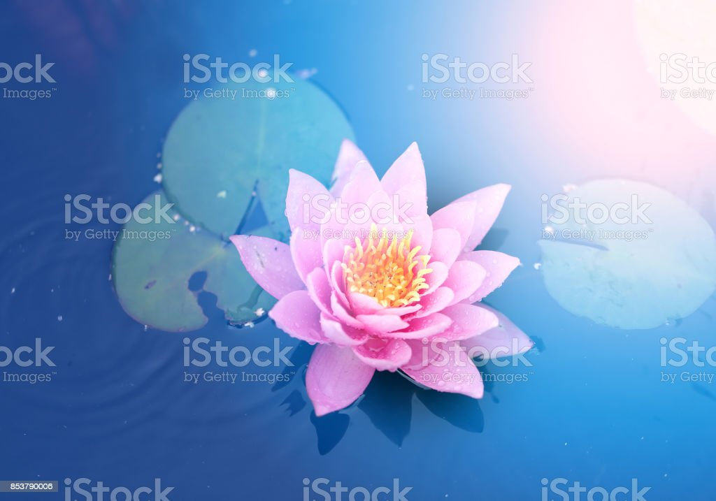 Bright pink water lily stock photo