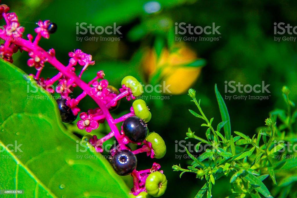 bright Pokeweed stock photo
