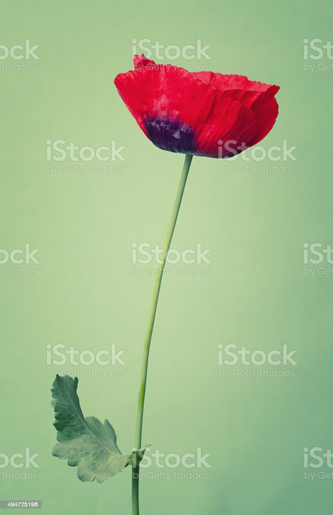 Bright poppy  flower on a summers day color background stock photo
