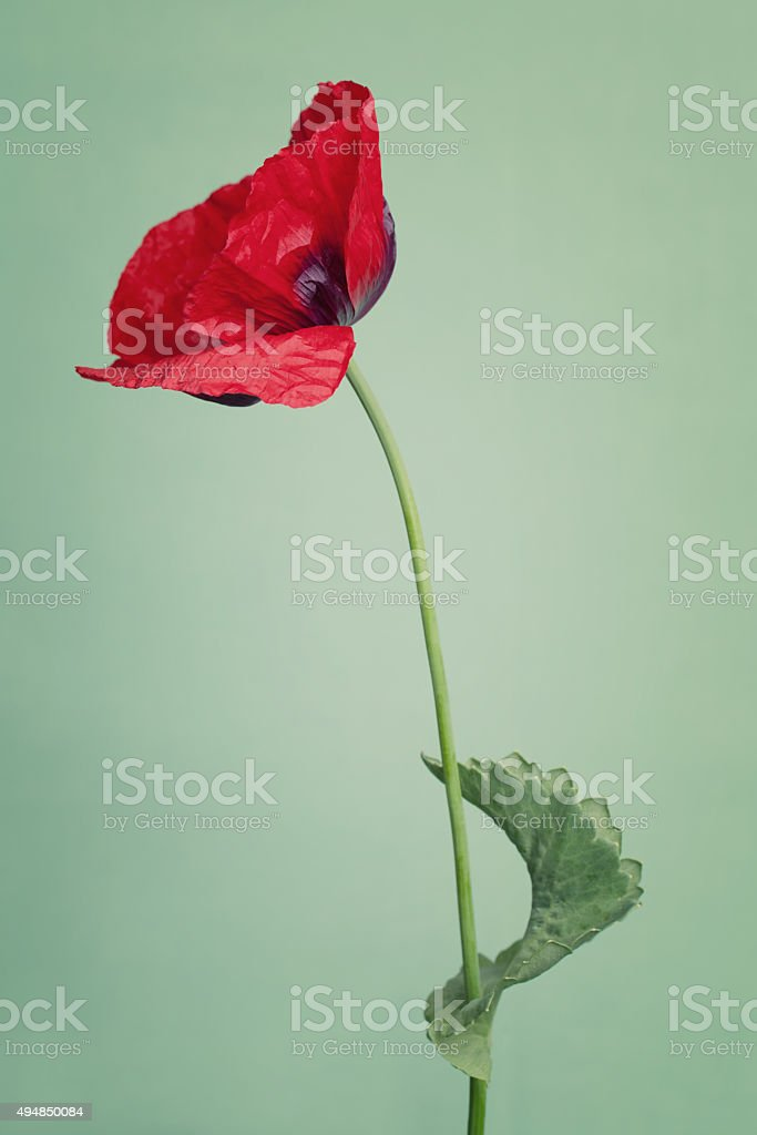 Bright poppy's flowers on a summers day color background stock photo