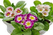 Colorful Primula vulgaris isolated on white background