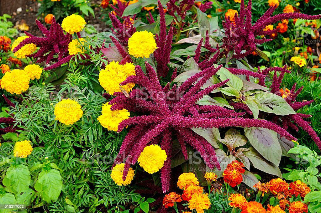 Bright purple Amaranthus cruenthus and multicolored marigolds stock photo