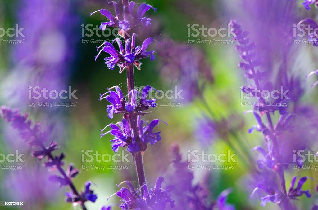 Lichte paarse bloemen zomer - Royalty-free Blauw Stockfoto