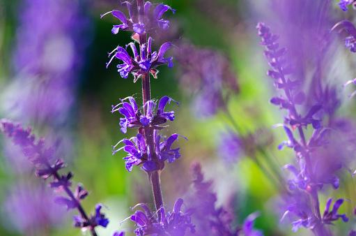 Lichte Paarse Bloemen Zomer Stockfoto en meer beelden van Blauw