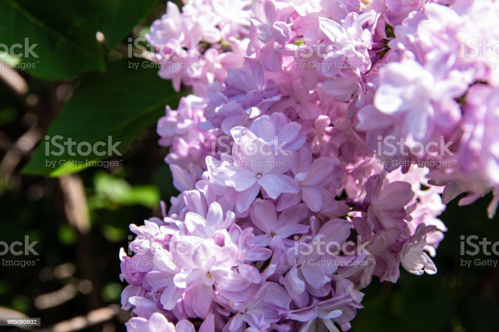 Bright purple lilac flowers in spring zbiór zdjęć royalty-free