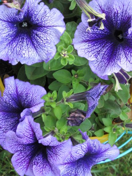 Bright purple petunias in closeup stock photo