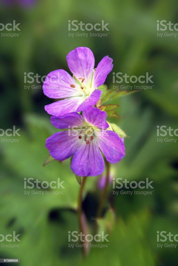 Bright Purple Wild Geranium royalty-free stock photo