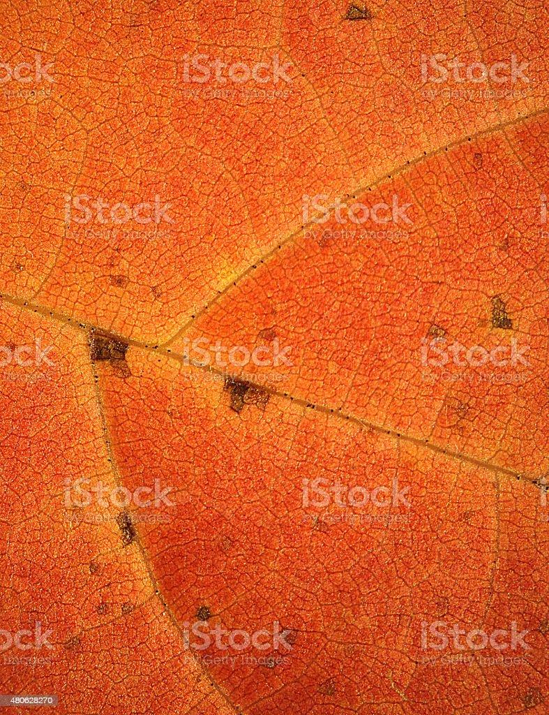 Bright, red and orange leaf of sassafras in autumn, Connecticut. stock photo