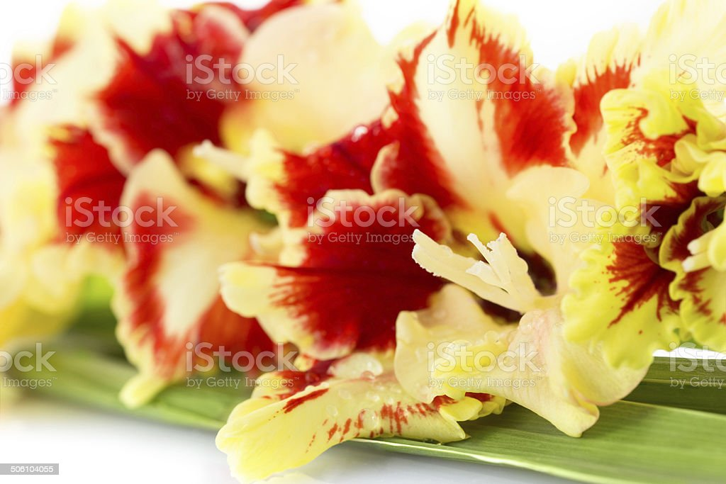 Bright red and yellow gladiolus royalty-free stock photo