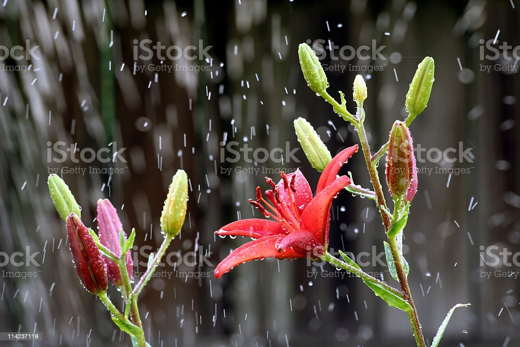 Bright Red Asiatic Lily stock photo