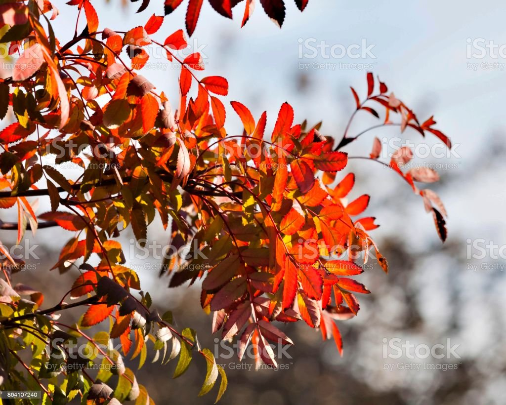 bright red autumn leaves of a mountain ash lit by the sun royalty-free stock photo