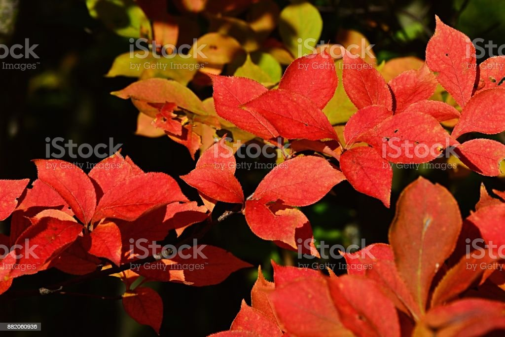 Christmas Leaf Name.Bright Red Autumn Leaves Of Decorative Shrub Christmas Berry