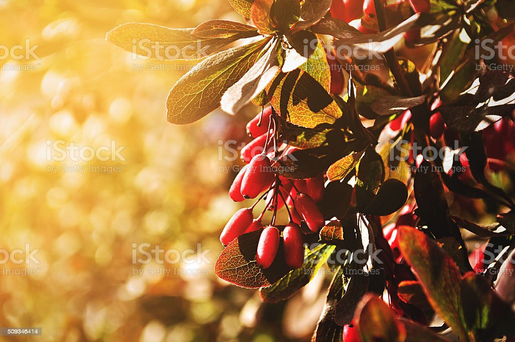 Bright red barberry berries - in Latin Berberis-  under sunlight stock photo