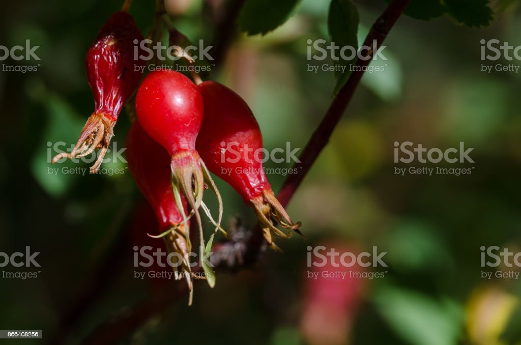 Bright Red Berries of the Autumn Dog Rose Bush stock photo