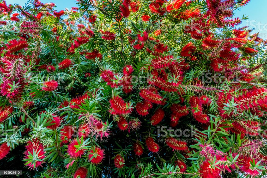 Bright Red Blossoms on a Bottlebrush Tree  in Texas. - Royalty-free Beauty Stock Photo