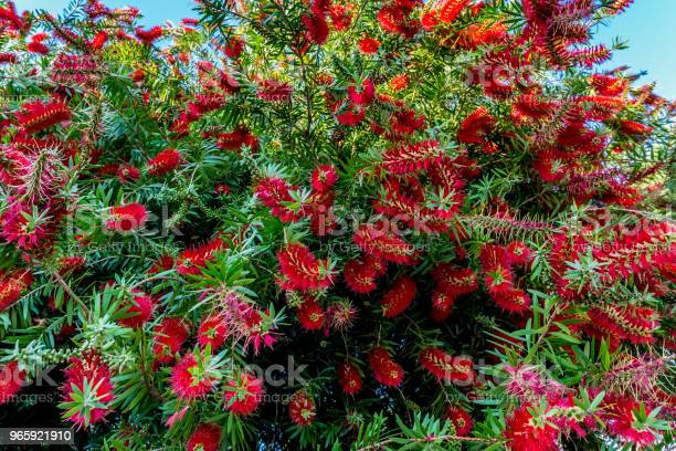 Bright Red Blossoms On A Bottlebrush Tree In Texas Stock Photo - Download Image Now
