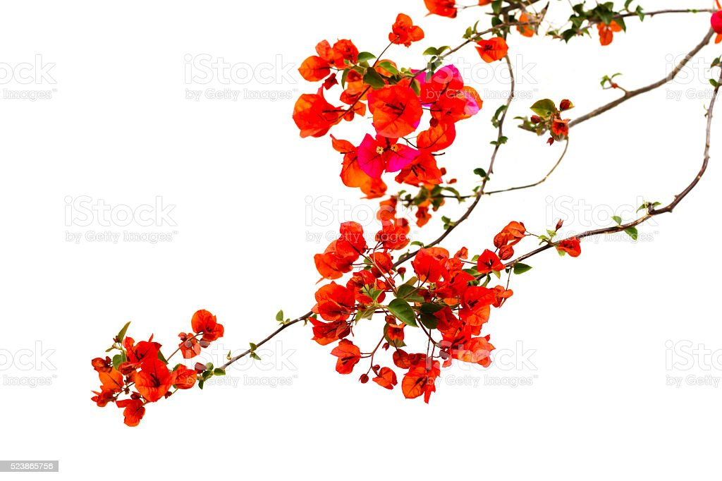 Bright Red Bougainvillea, White Background, Italy stock photo