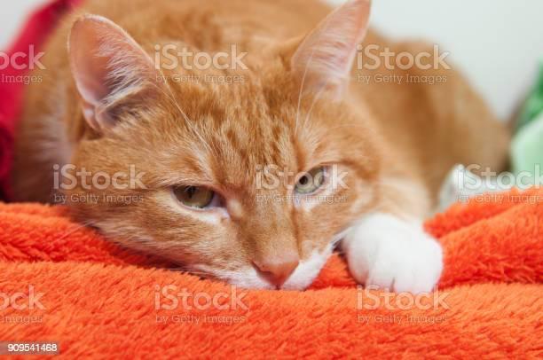 Bright red cat in a plush soft orange wrap picture id909541468?b=1&k=6&m=909541468&s=612x612&h=630hqszrgyrq79apcspnrk4grt60mqkzruwctgpzoc0=