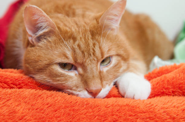 bright red cat in a plush soft orange wrap stock photo
