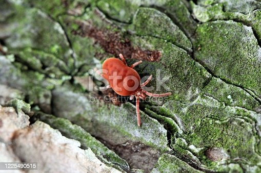 The tiny, red, velvety Clover Mite crawling over craggy pine bark