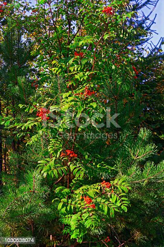 istock Bright red clusters of mountain ash.The background. 1030538074