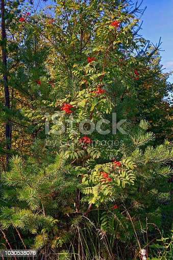 istock Bright red clusters of mountain ash.The background. 1030538076