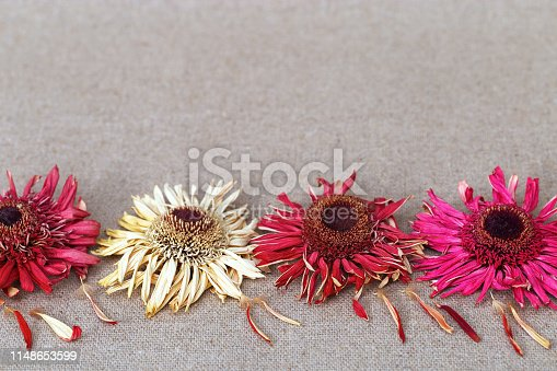 Bright red dried flowers in the foreground of a greeting card with copy space. Blurred background for copyspace. Gerberas lined up in a row from below.