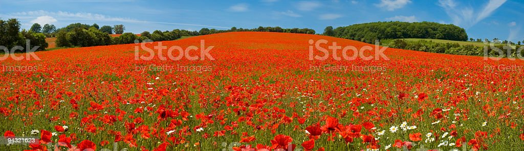 Bright red flower meadow royalty-free stock photo