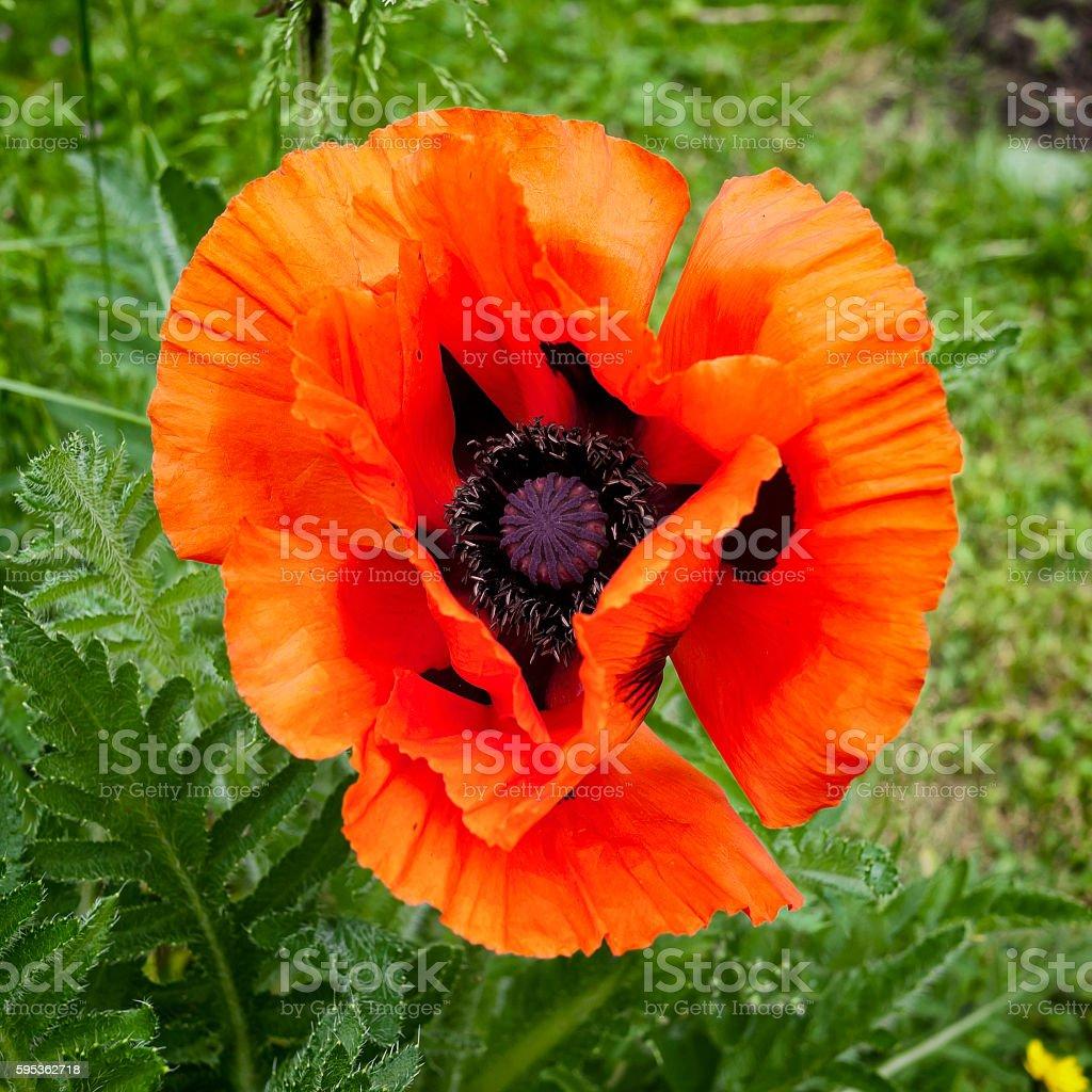 Bright red garden poppy stock photo
