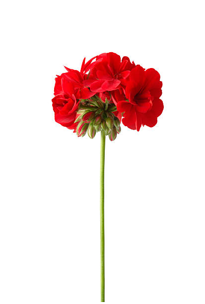 Bright Red Geranium with Path stock photo