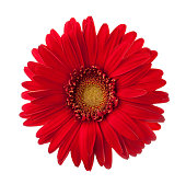 Bright red Gerbera flower isolated on white background.