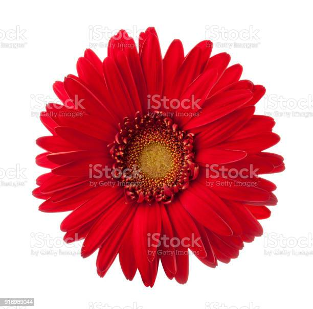 Bright red gerbera flower isolated on white background picture id916989044?b=1&k=6&m=916989044&s=612x612&h=n4lxqjqho96xmjg07loo1o1jgictkqg2xvyeyqsvllg=